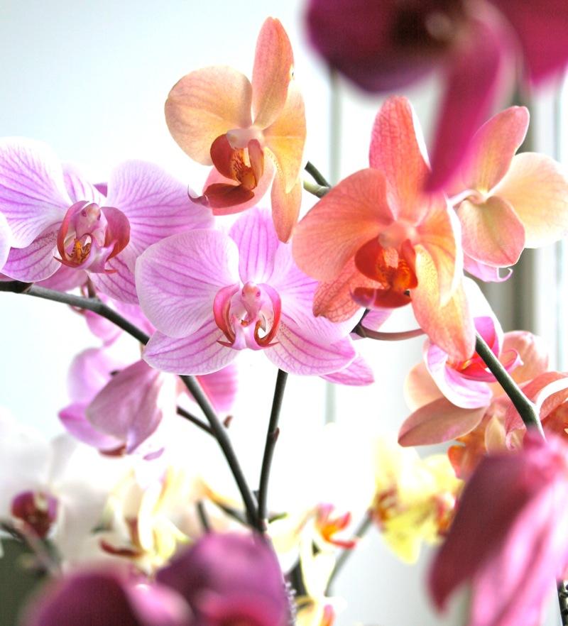 Phalaonopsis